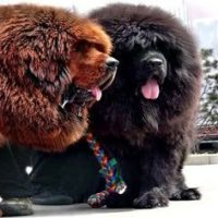 Мастиф — самая дорогая порода собак в мире